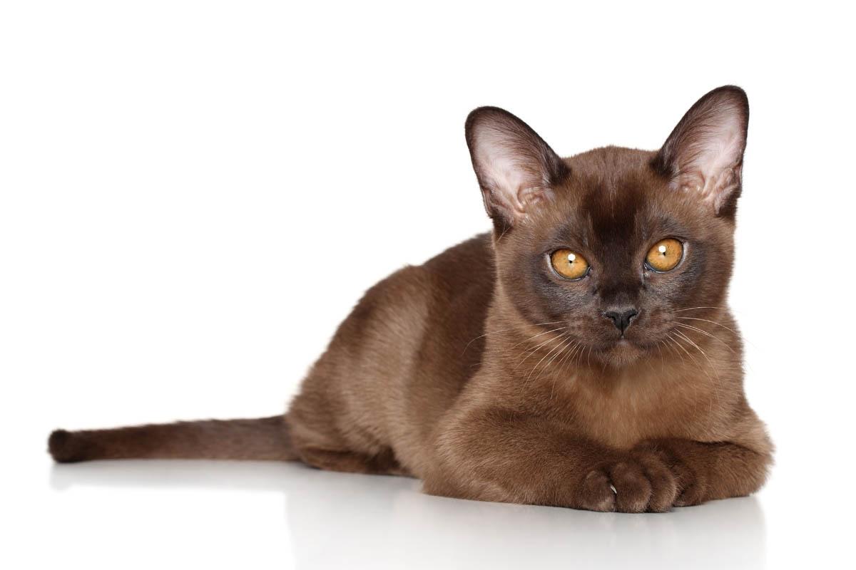 Sable Burmese kitten