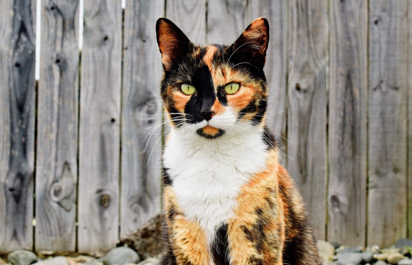 Calico and Tortoiseshell Cat Photos 1