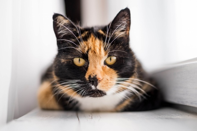 calico and tortie cats - what is the difference?