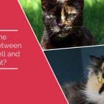 What is the Difference Between a Calico and Tortoiseshell Cat?