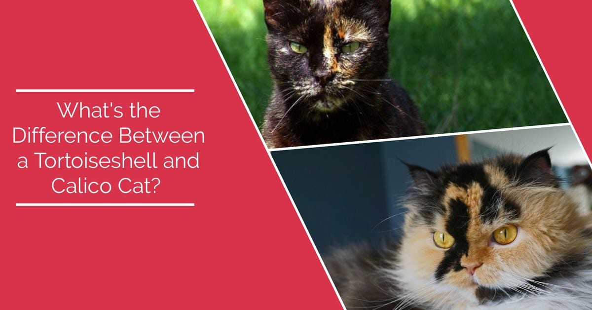 What is the difference between tortoiseshell and calico cats?