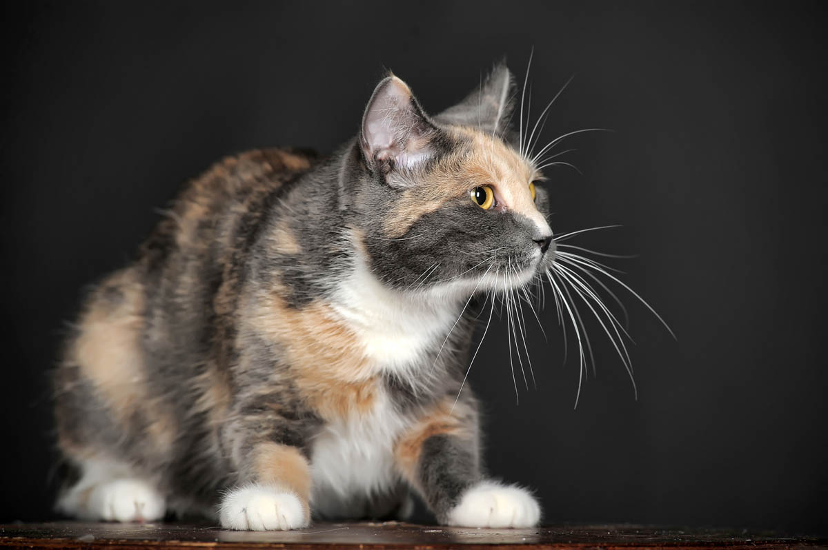 Dilute tortie