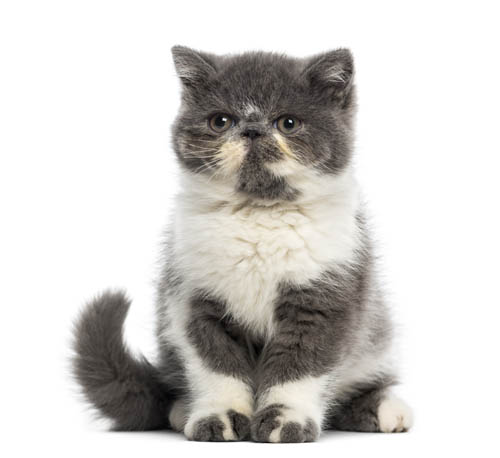 Best Cat Breeds For First-Time Owners 1