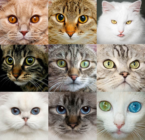 Different eye colours in cats