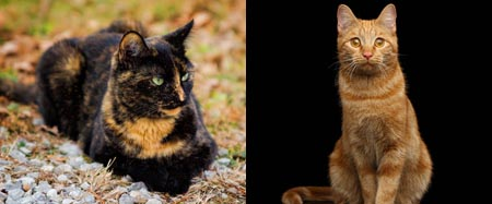Ginger and torti cats