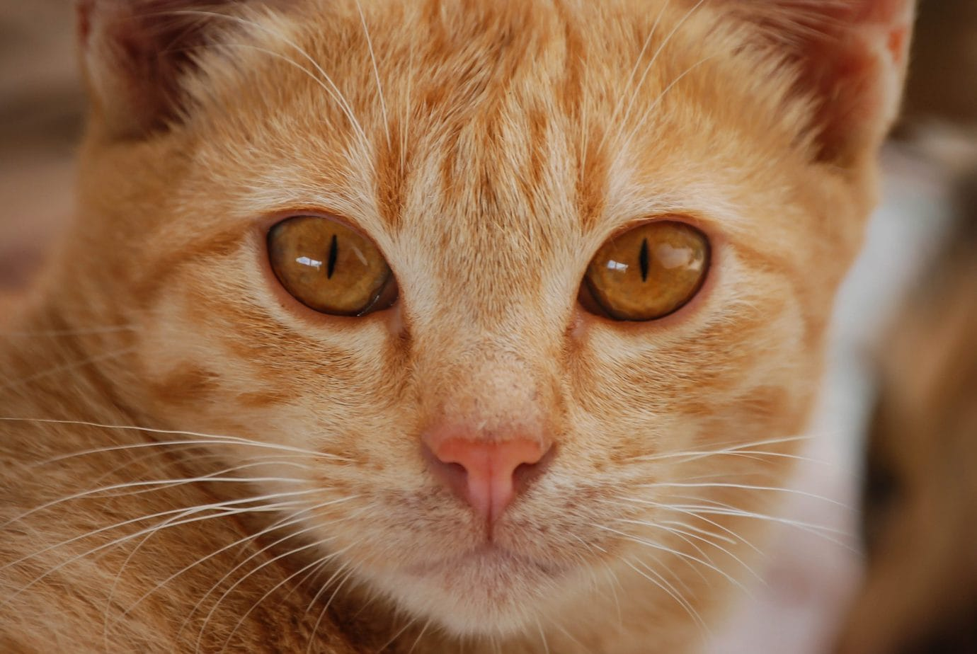Ginger tabby cat
