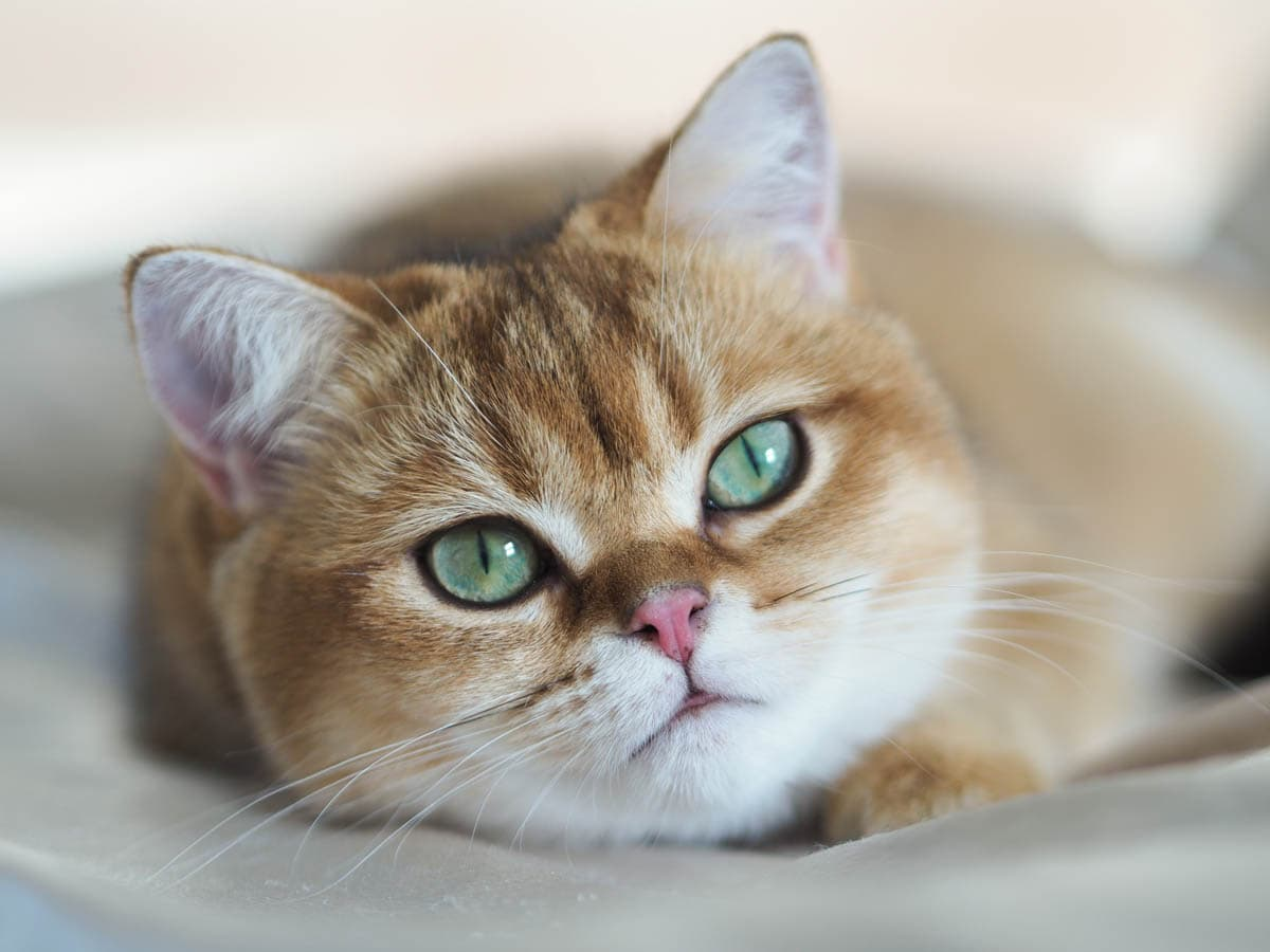 Struvite Stones in Cats: Causes, Symptoms & Treatment
