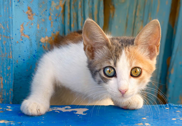 What age do kitten's eyes change colour?