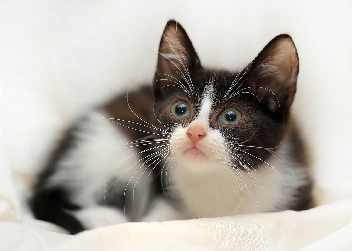 When Do A Kitten's Eyes Change Colour?