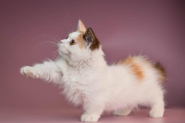Achondroplasia in cats