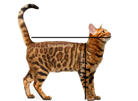 What is the average size of a cat?
