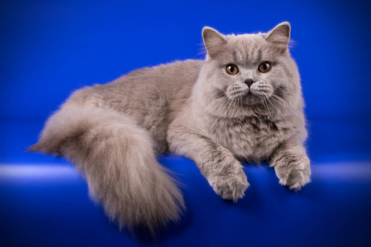 Grey British Longhair