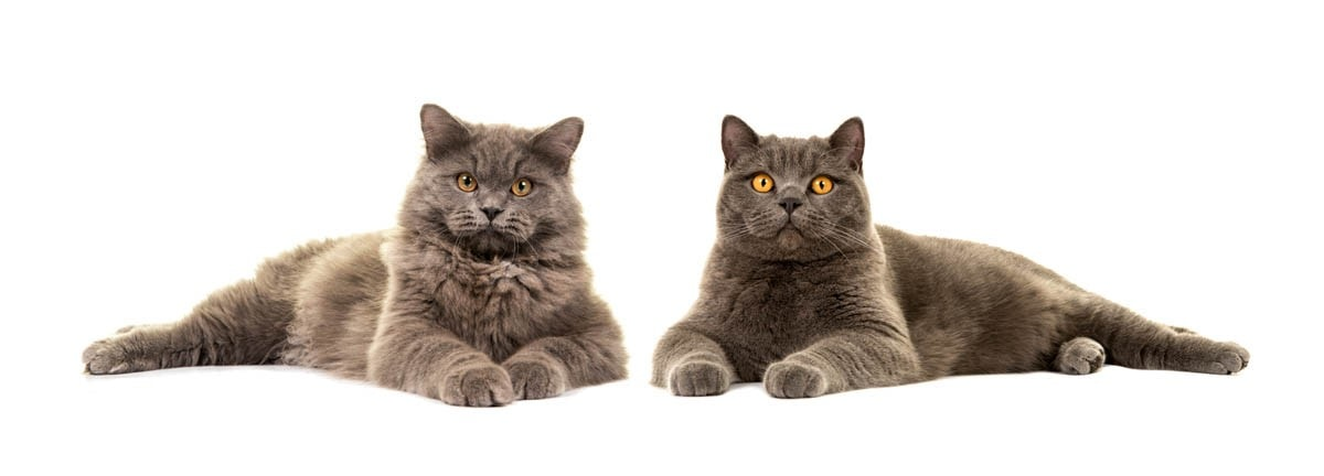British Longhair next to a British Shorthair