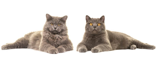 British Longhair and British Shorthair