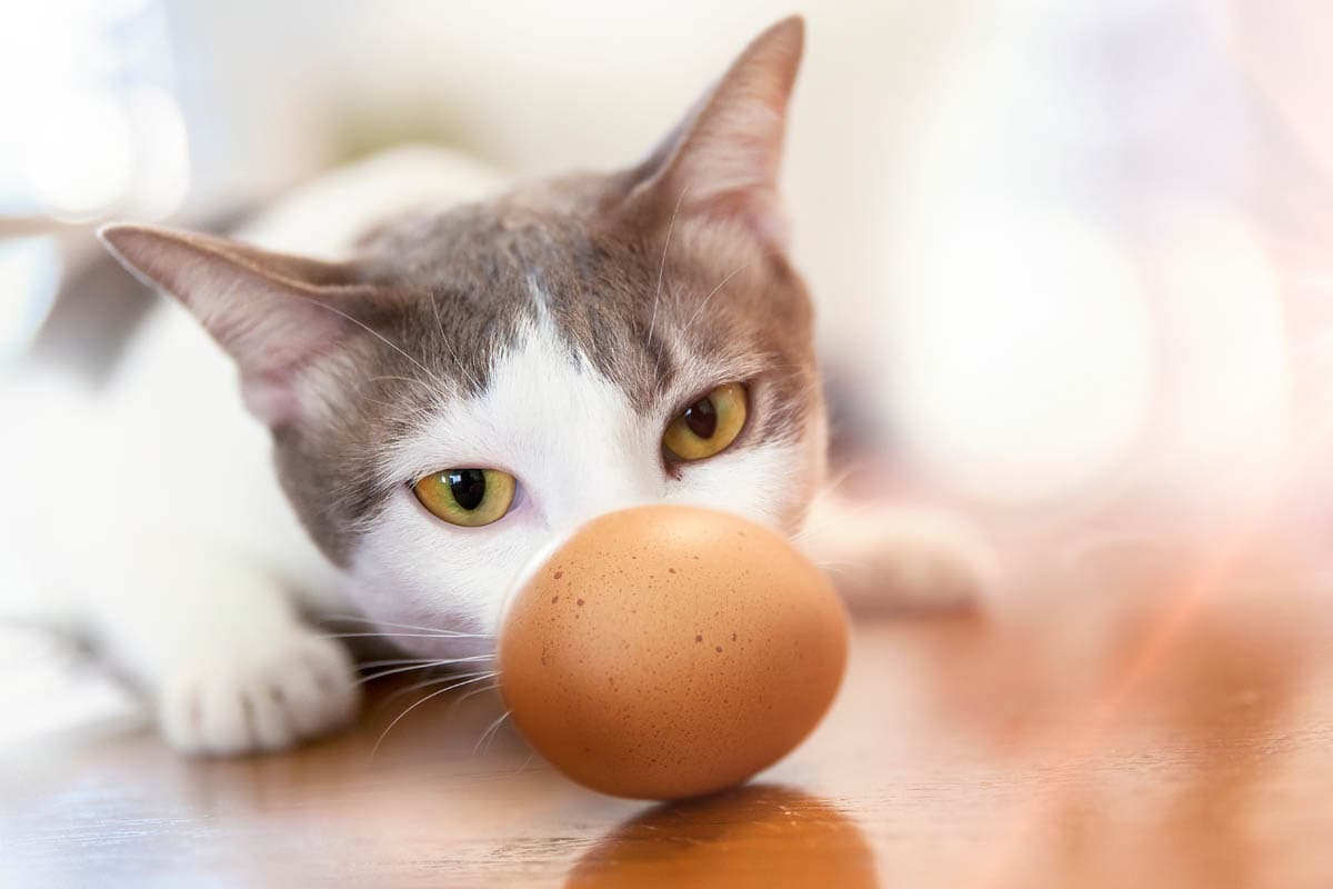 Can Cats Eat Eggs? Benefits and Risks of Feeding Eggs