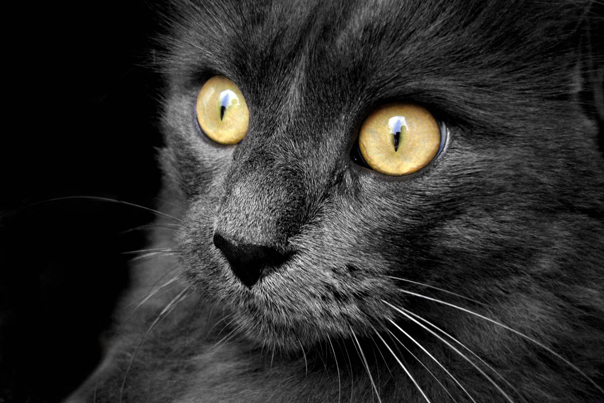 Carboplatin for cats