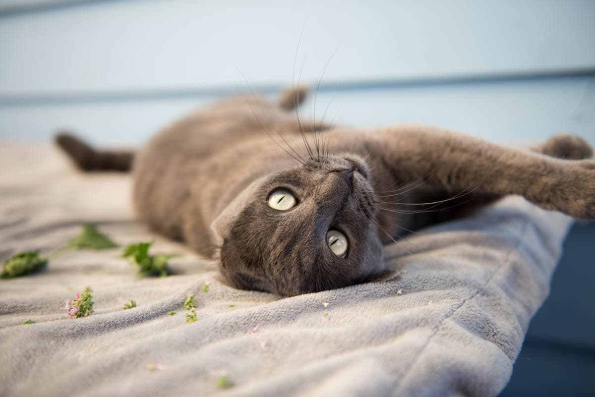 What Is Catnip And What Does It Do To Cats Cat World