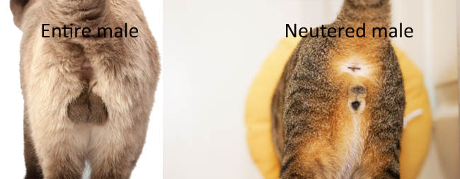 Difference between an entire male cat and a neutered male cat