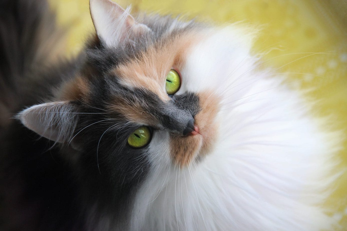 Dilute calico cat