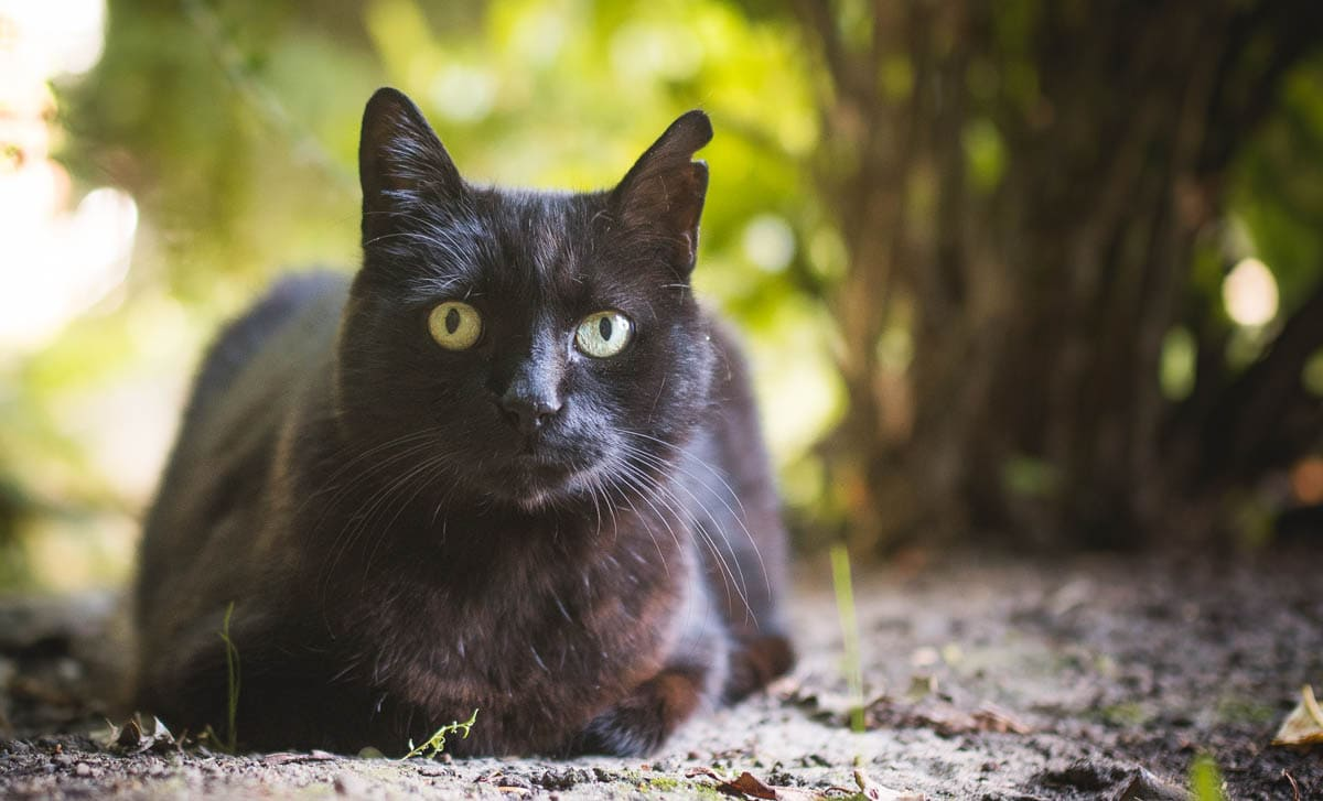 Ear Notching or Tipping in Feral Cats: What is it?