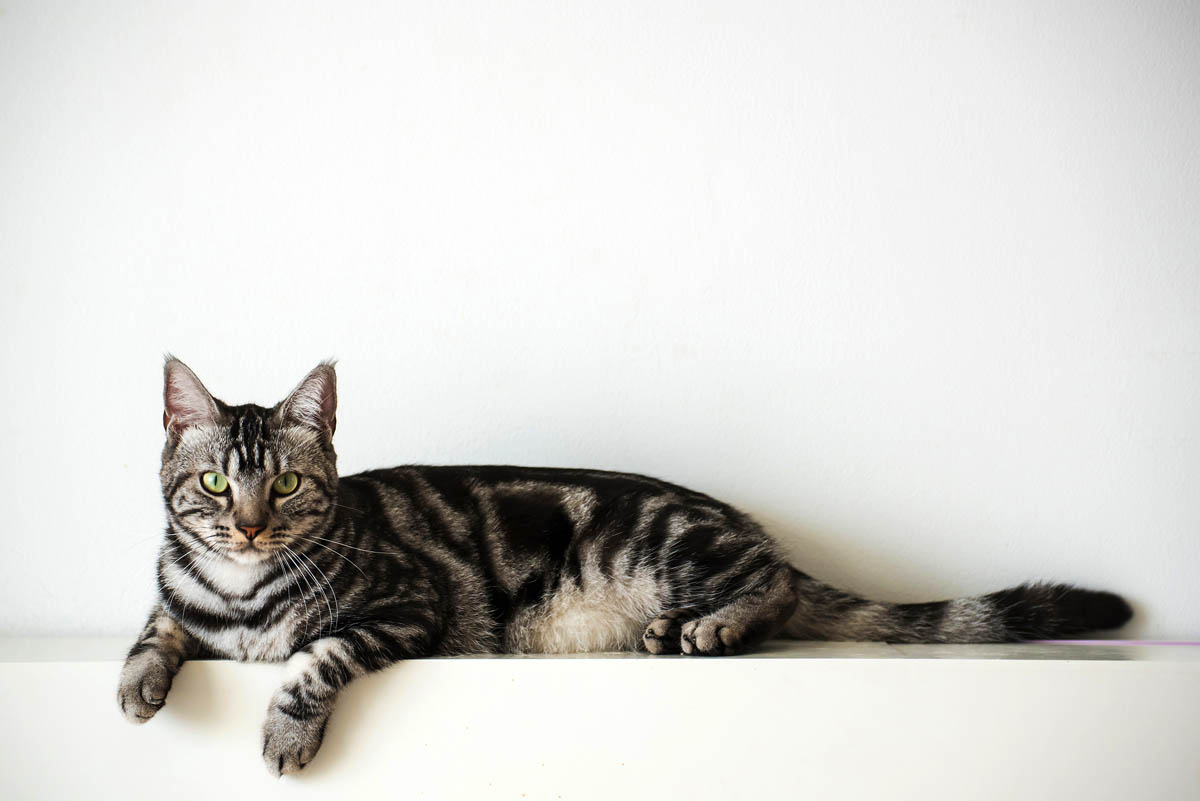 How to determine if a cat has been spayed or neutered