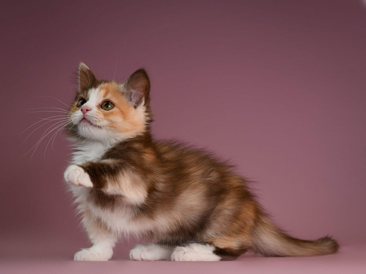 Calico Munchkin cat