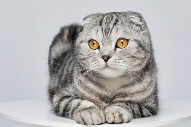 Osteodystrophy in Scottish Fold cats