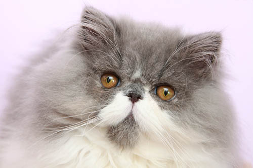 Grey and white Persian cat