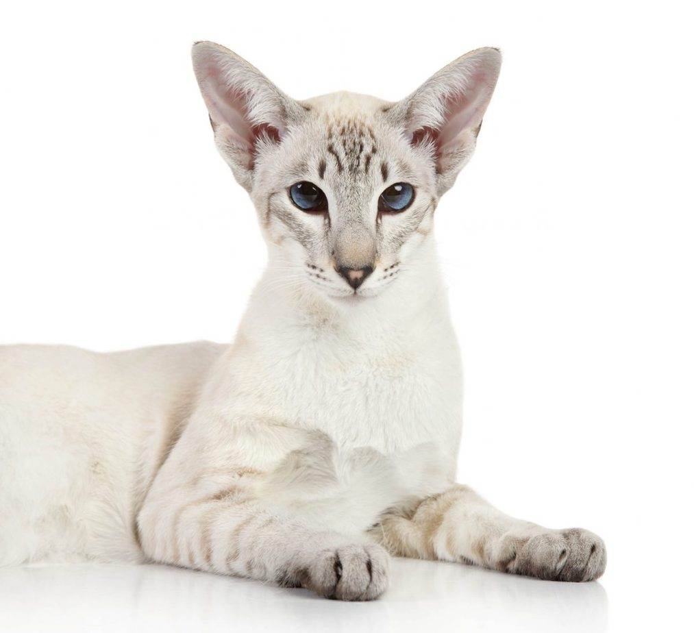 Colourpoint Shorthair Breed Profile