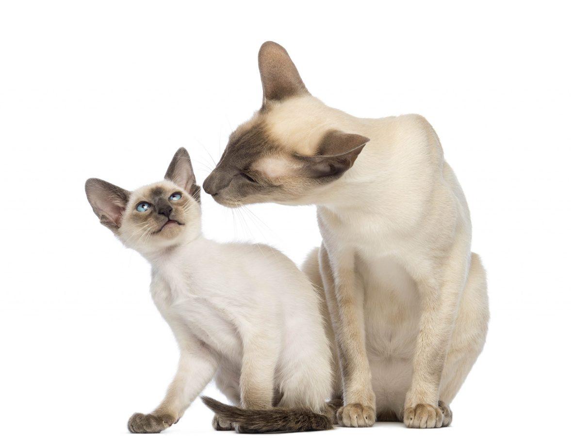 Siamese cat and her kitten