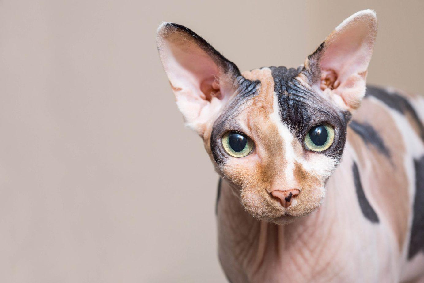 Sphynx Cat Breed Profile 1