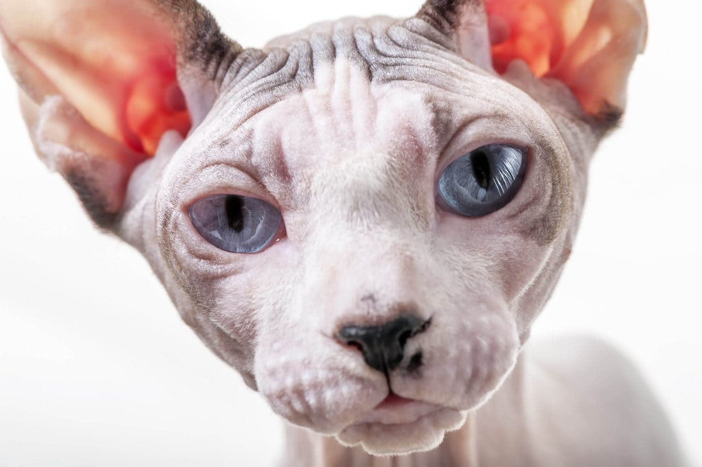 Blue-eyed Sphynx cat