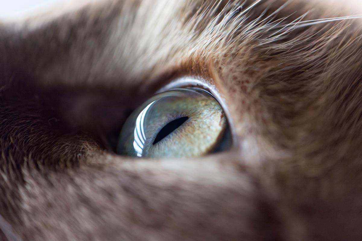 Perineal urethrostomy in cats