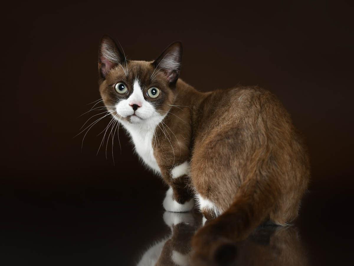 Brown and white munchkin cat