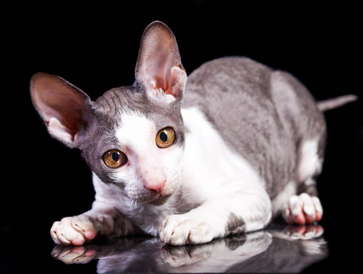 Cornish Rex photos
