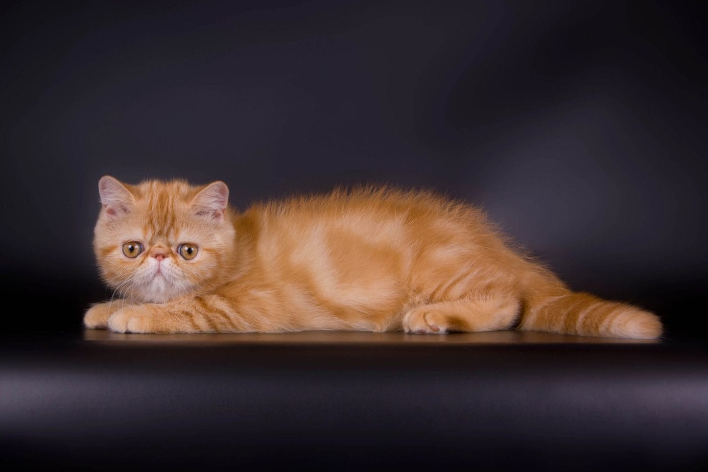 Red classic tabby exotic shorthair