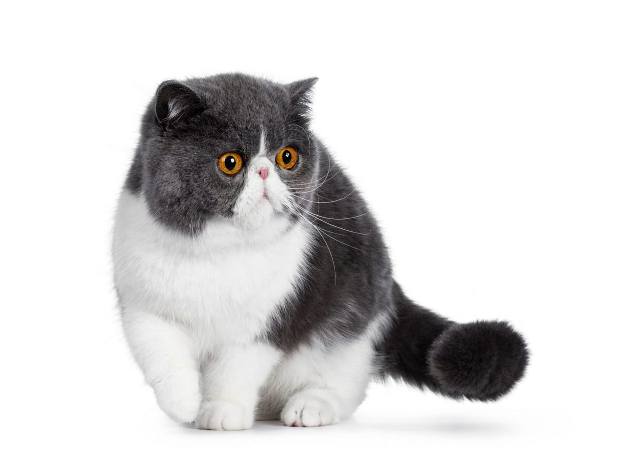 Grey and white exotic shorthair