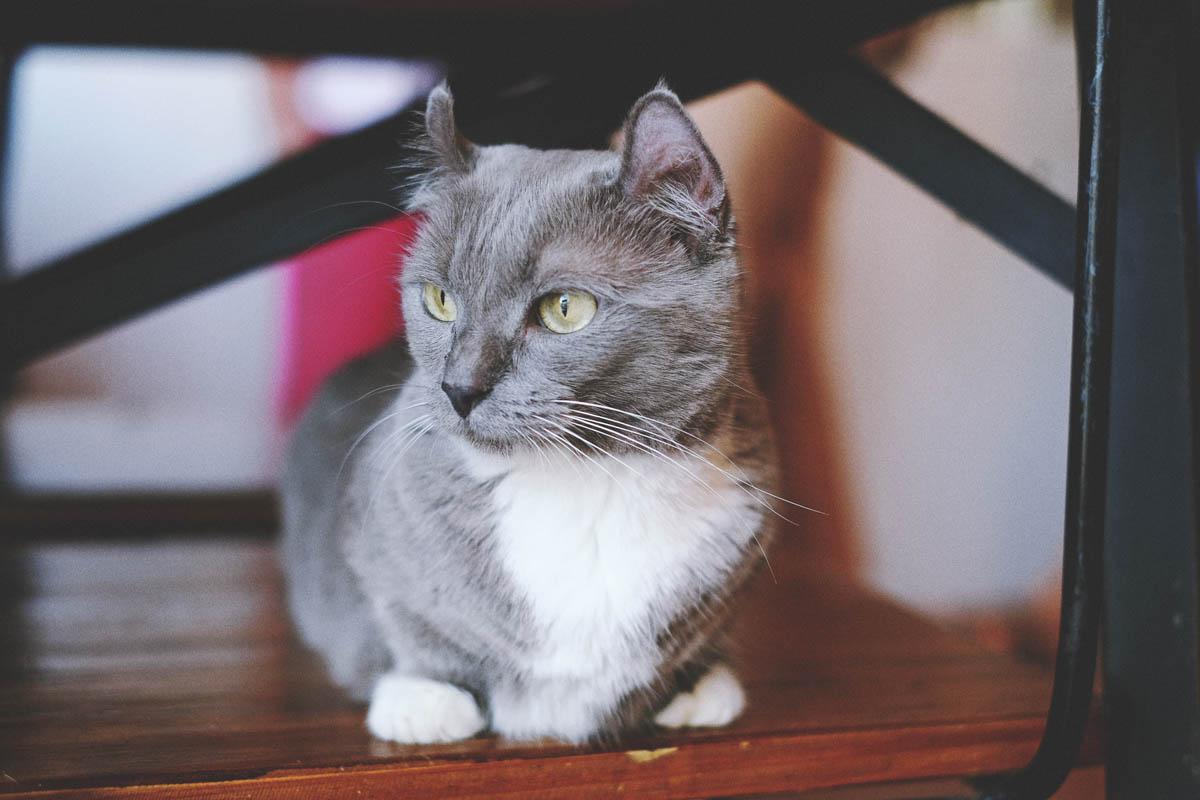 Grey and white munchkin cat