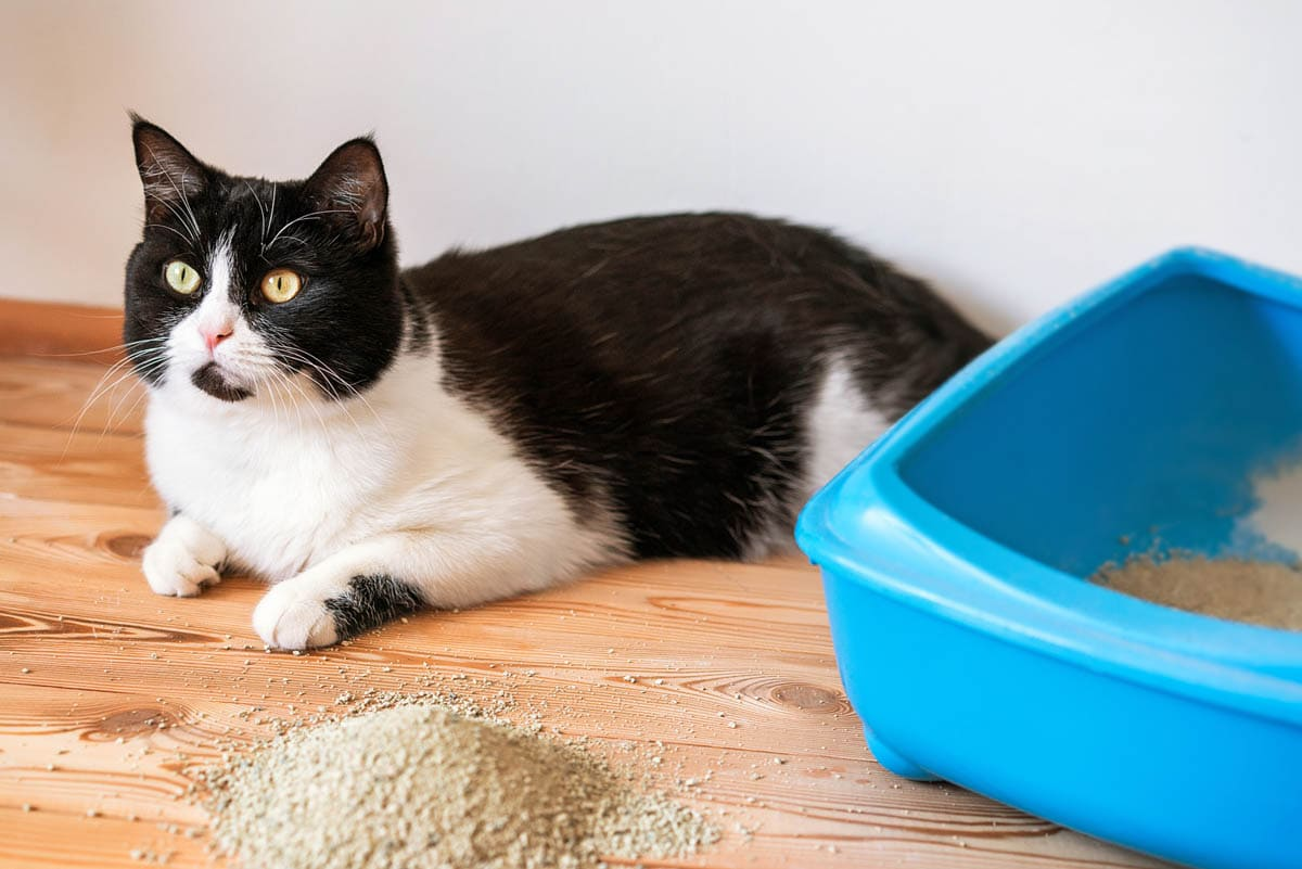Litter Box Problems in Cats