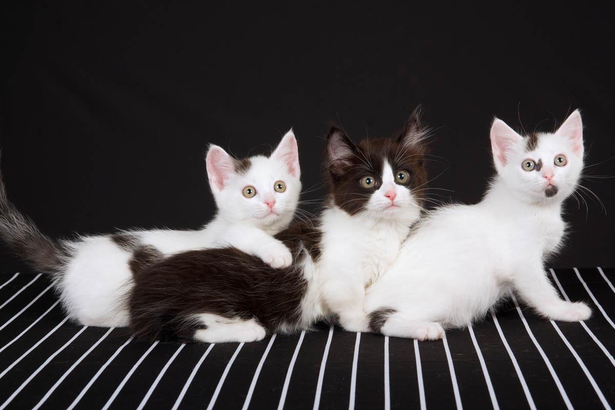 Three munchkin kittens
