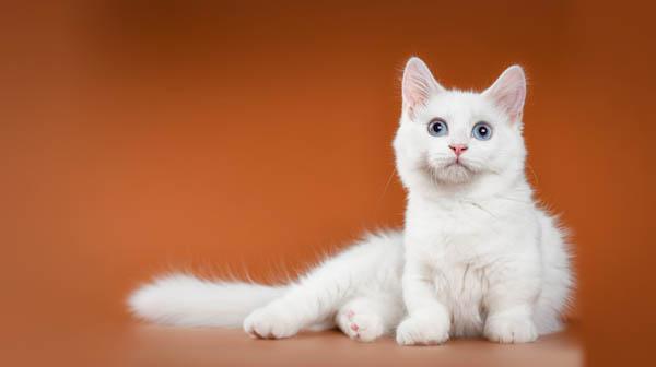 White munchkin cat