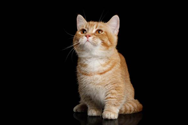 Red tabby Munchkin cat