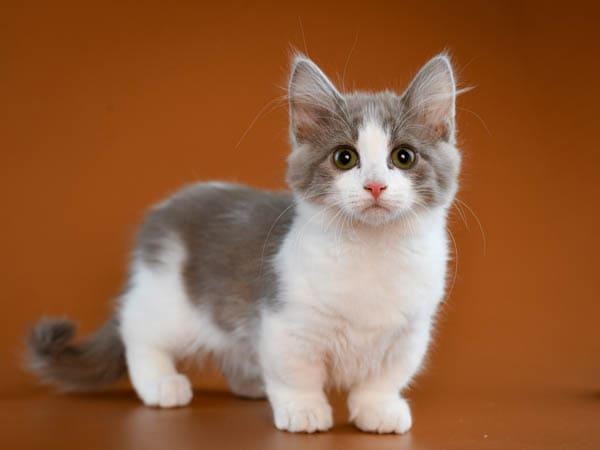 Grey and white munchkin kitten