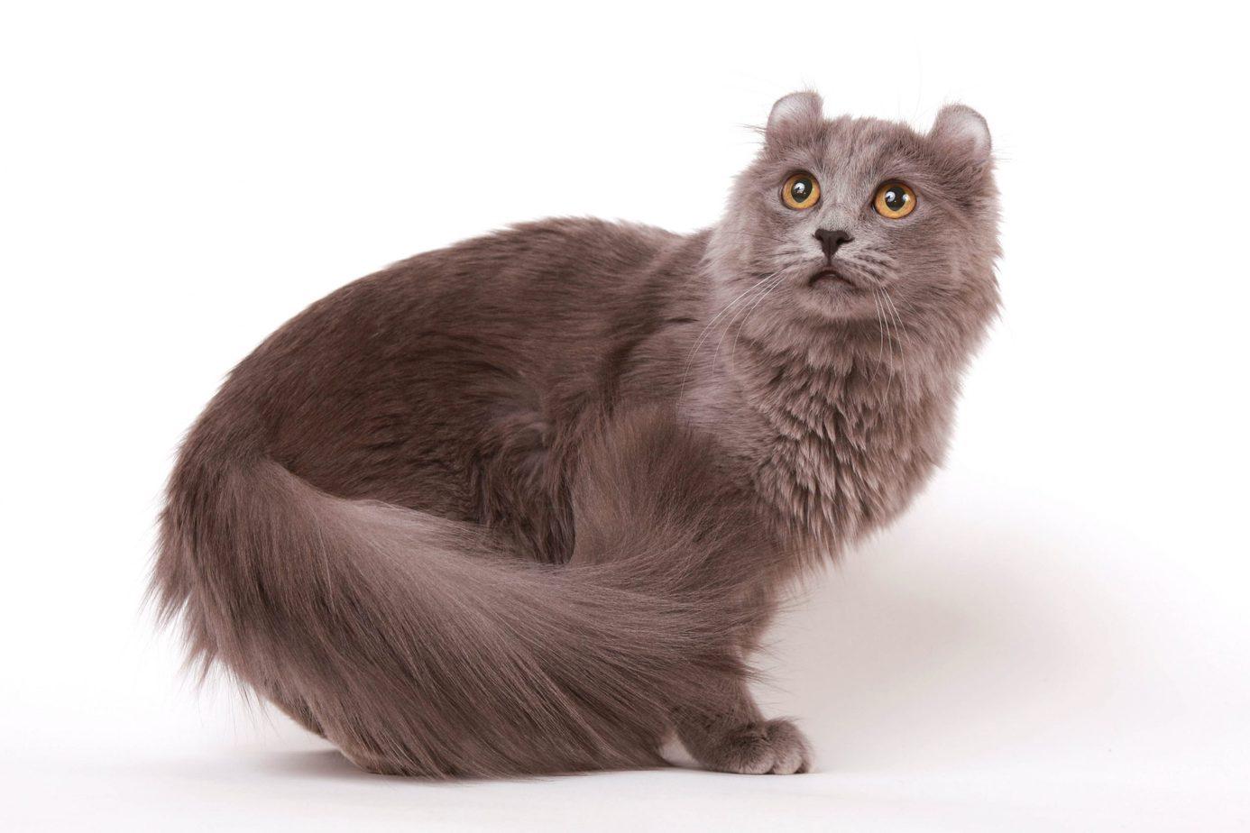 Grey American Curl