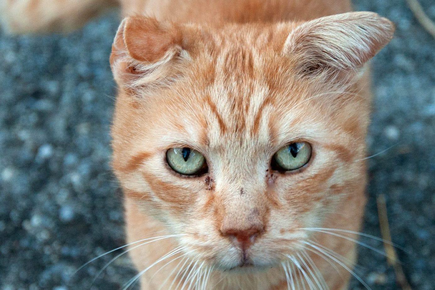 Cauliflower ear in cats