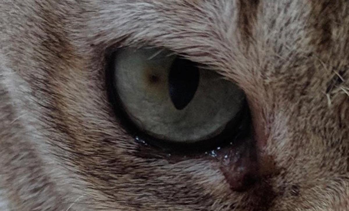 Corneal sequestrum in cats