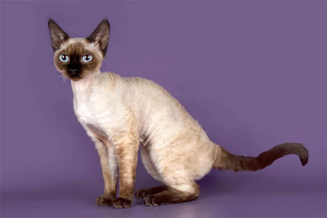 Seal Point Devon Rex