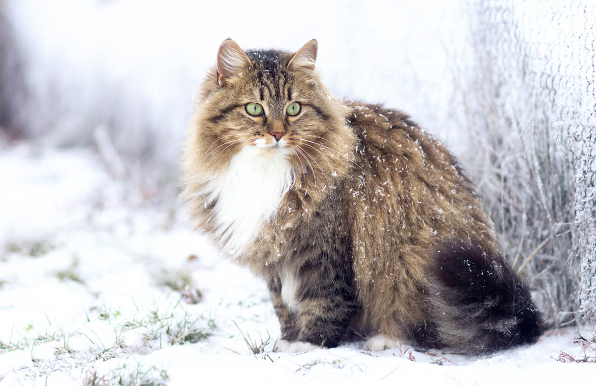 How did longhaired cats develop?