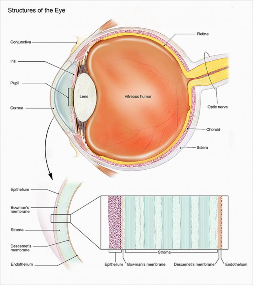 Structures of the eye