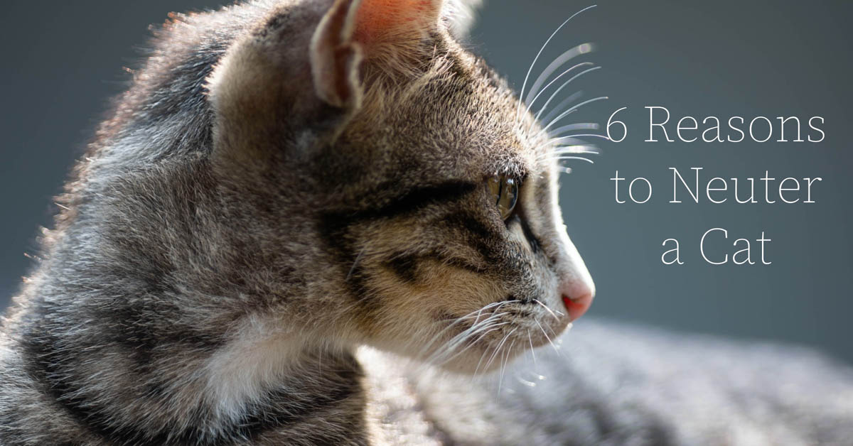 6 reasons to neuter a cat